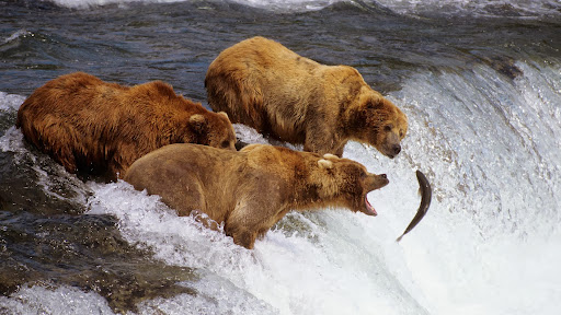 Brown Bears Catching Salmon, Brooks River, Katmai National Park, Alaska.jpg