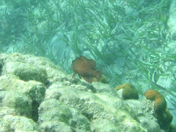 Cephalopholis cruentata (Graysby Grouper) near Tranquility Bay Resort.