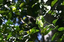 Fotos a Cafetal de la Hacienda Buena Vista. Mariposa