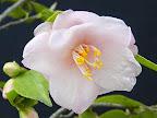 淡桃色 一重咲き 極小輪 有香