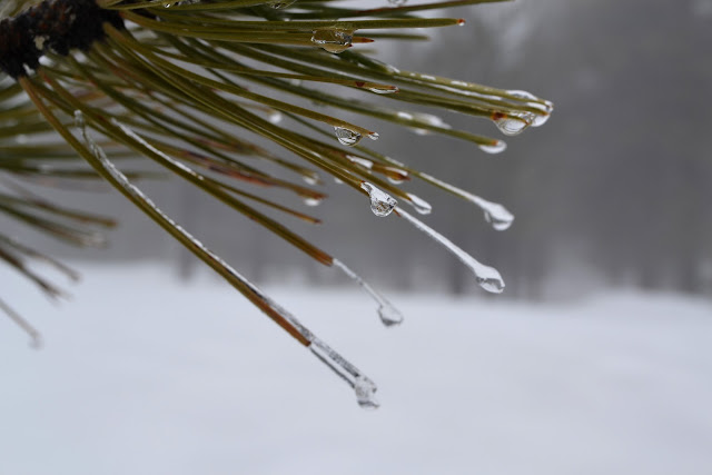 frozen drops on the end of pine needles