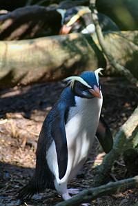 Пингвины в Фьордленде