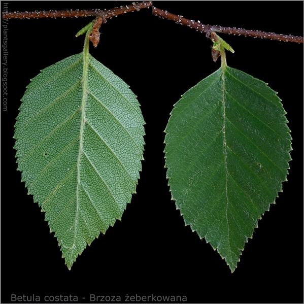 Betula costata - Brzoza żeberkowana liść od spodu i z wierzchu