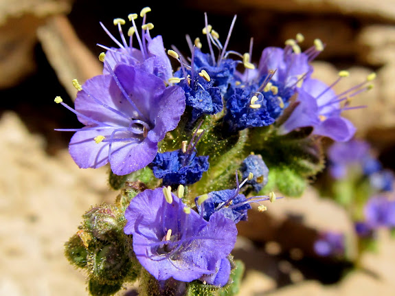 Phacelia crenulata (Notched-leaved Phacelia)