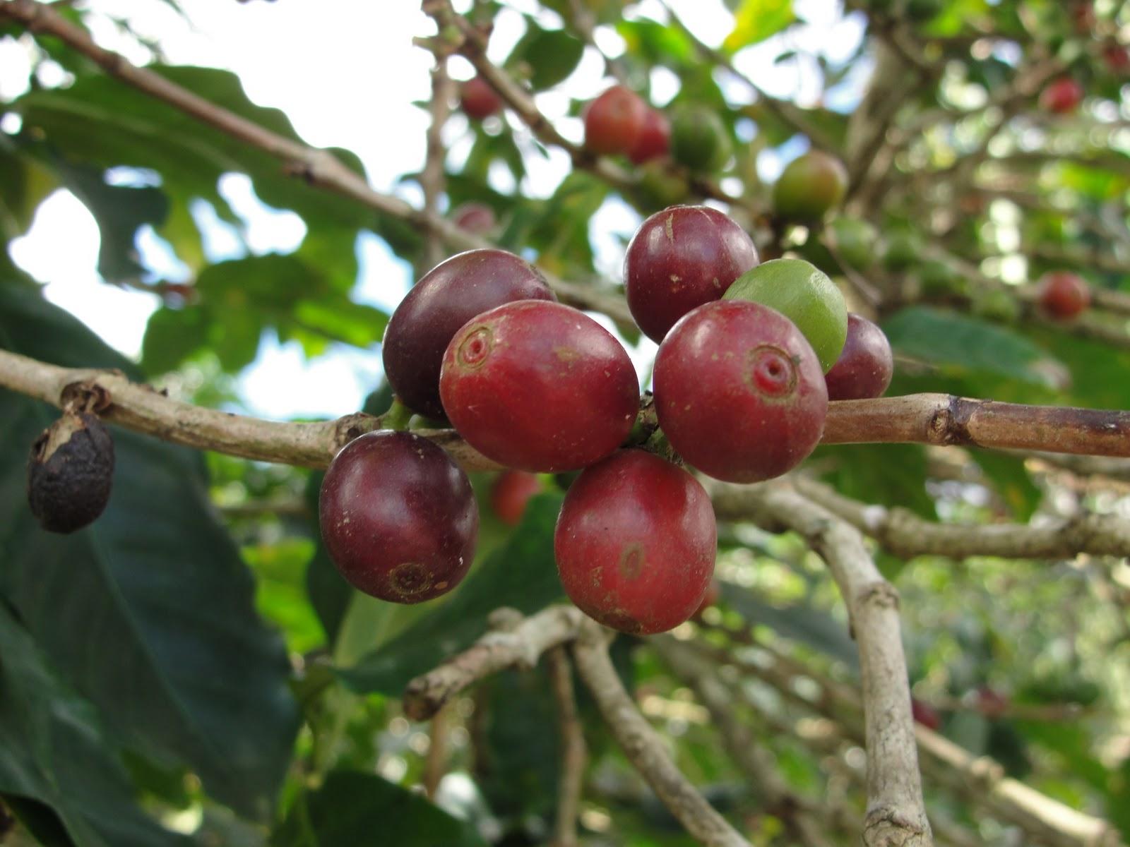 Off the Cuff: Costa Rican Coffee