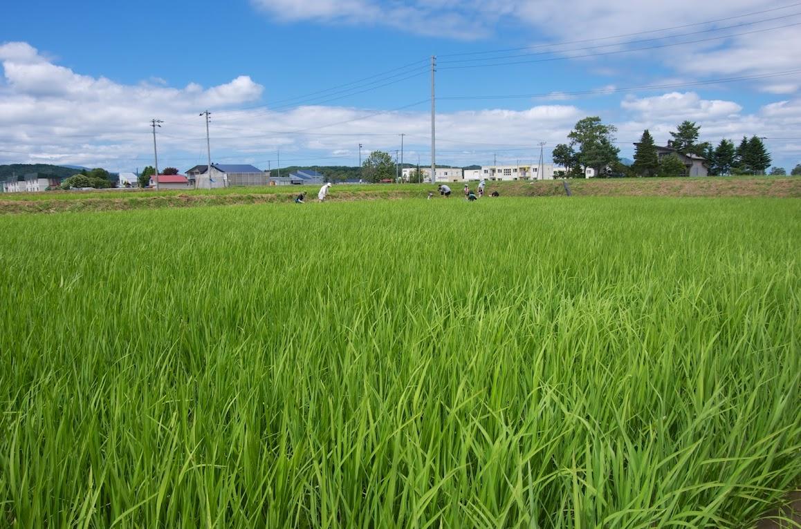 真っ青な空と青々と茂るナチュラルファーム黄倉・有機栽培米の稲穂