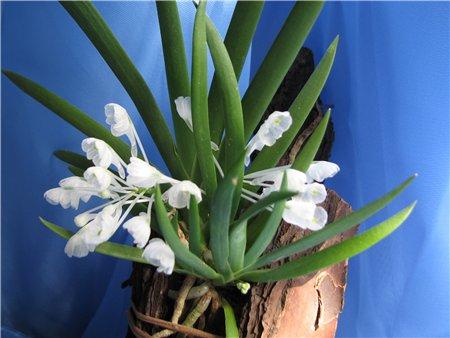 Растения из Тюмени. Краткий обзор - Страница 7 Podangis%252520dactyloceras1