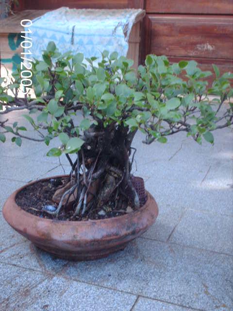 Ficus Microcarpa do Roberto Teixeira... PICT1656