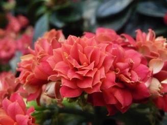 Kalanchoe Blossfelda blossfeldiana kwiat flower