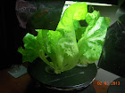 7 week summer crisp lettuce - these stay really short, putting effort into forming heads, instea</body></html>