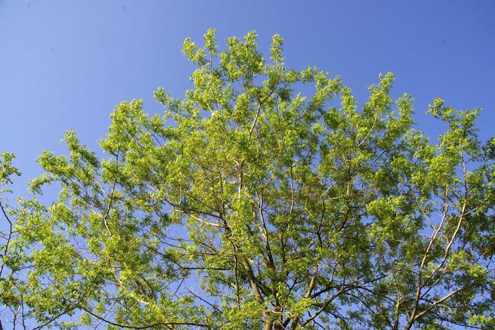 真っ青な空にそびえる白樺の木