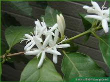 咖啡樹盆栽開花