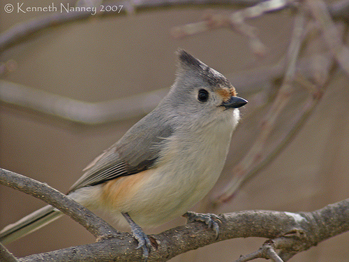 Black crested and tufted titmouse north central texas birds black crested titmouse x tufted titmouse young co photo by ken nanney sciox Images