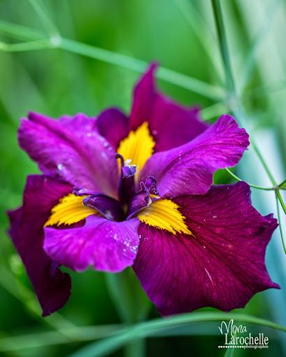 Iris louisiana Ann Chowning Iris_louisiana_ann_chowning_140705-36rm