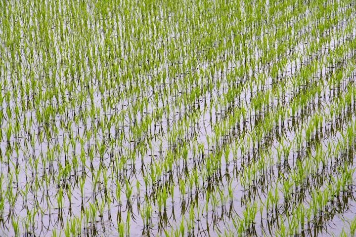 日に日に育つ稲