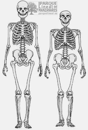Comparación de los esqueletos de sapiens y neandertales.