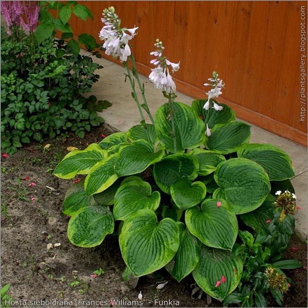 Hosta sieboldiana 'Frances Williams' habit - Funkia pokrój kwitnącej rośliny