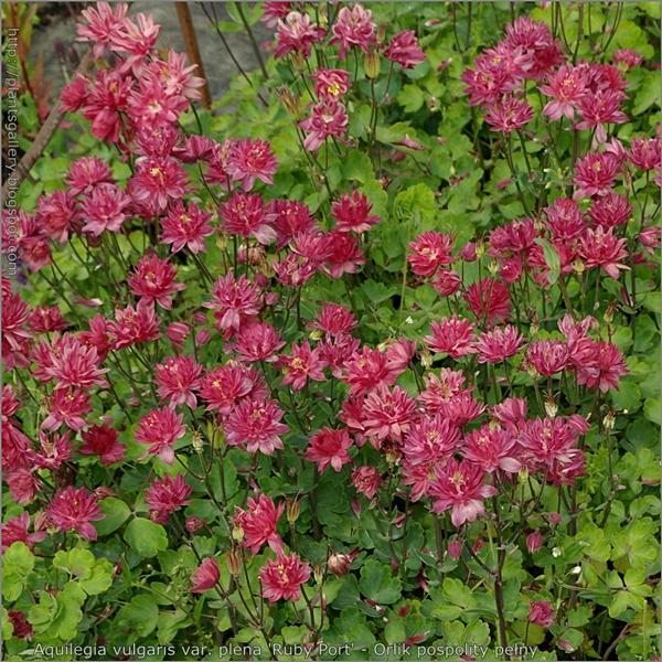 Aquilegia vulgaris var. plena 'Ruby Port' - Orlik pospolity pełny