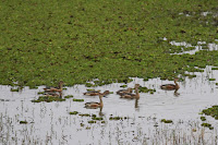 11-Aug-2012 Lesser Whistling Ducks
