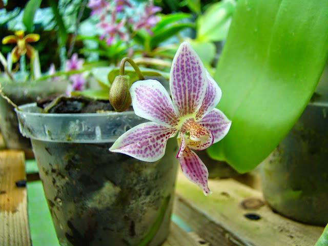 Phalaenopsis Alyos DSC01801