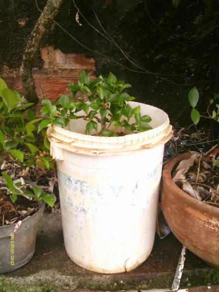 Ficus Microcarpa, finalização Rapida... IMAG0169