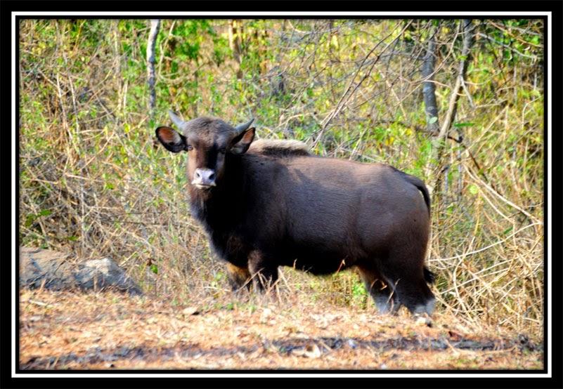 Betla Forest - Bison