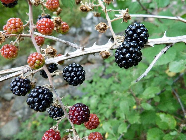 Jeżyny - rzadko uczulające owoce