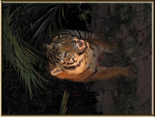 tigre-du-Bengale-foire-2009.jpg