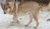 Before You Buy A Wolf - WARNING! BEWARE of Wolf Dog Breeders