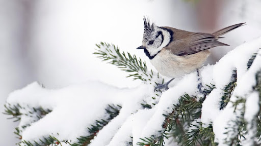 Willow Tit in Winter, Finland.jpg