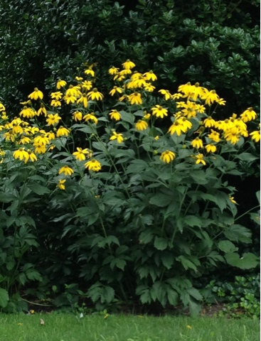 Gardening and gardens tall yellow flowers of rudbeckia tall yellow flowers of rudbeckia mightylinksfo