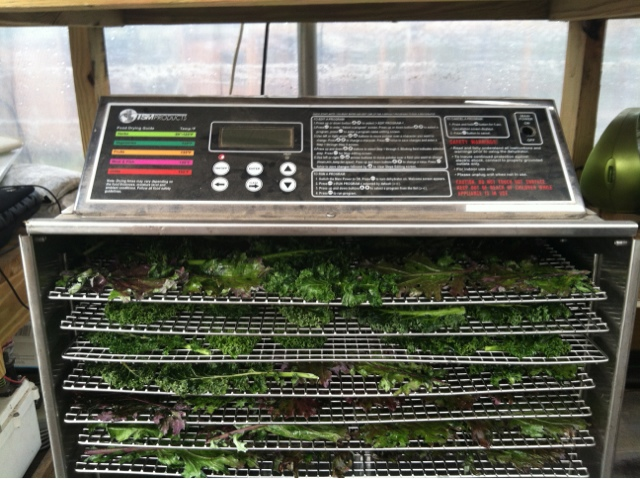 Kale leaves drying in the food dehydrator