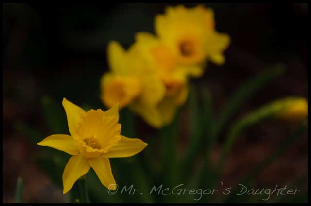 Daffodil Time: Last Week at Squirrelhaven