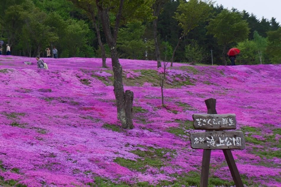 芝桜(滝上公園)