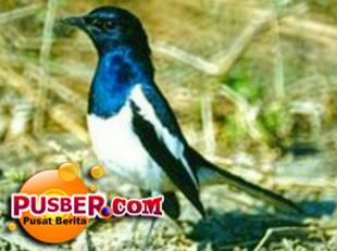 Jenis Burung Kacer Madagaskar Afrika