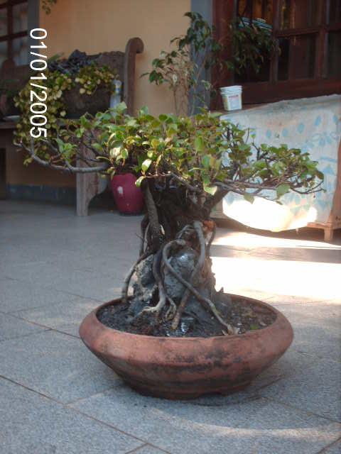 Ficus Microcarpa do Roberto Teixeira... PICT1731