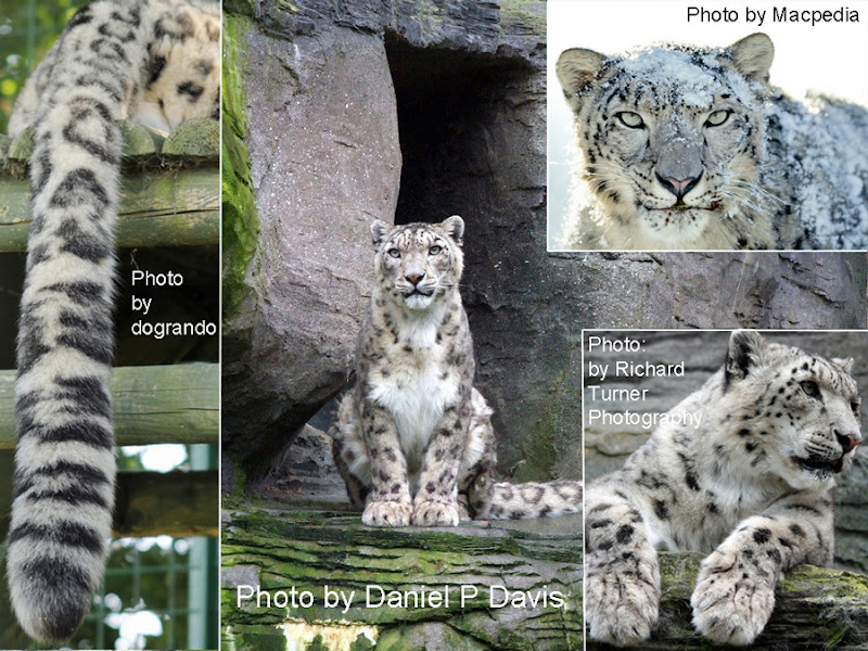 Snow leopard description