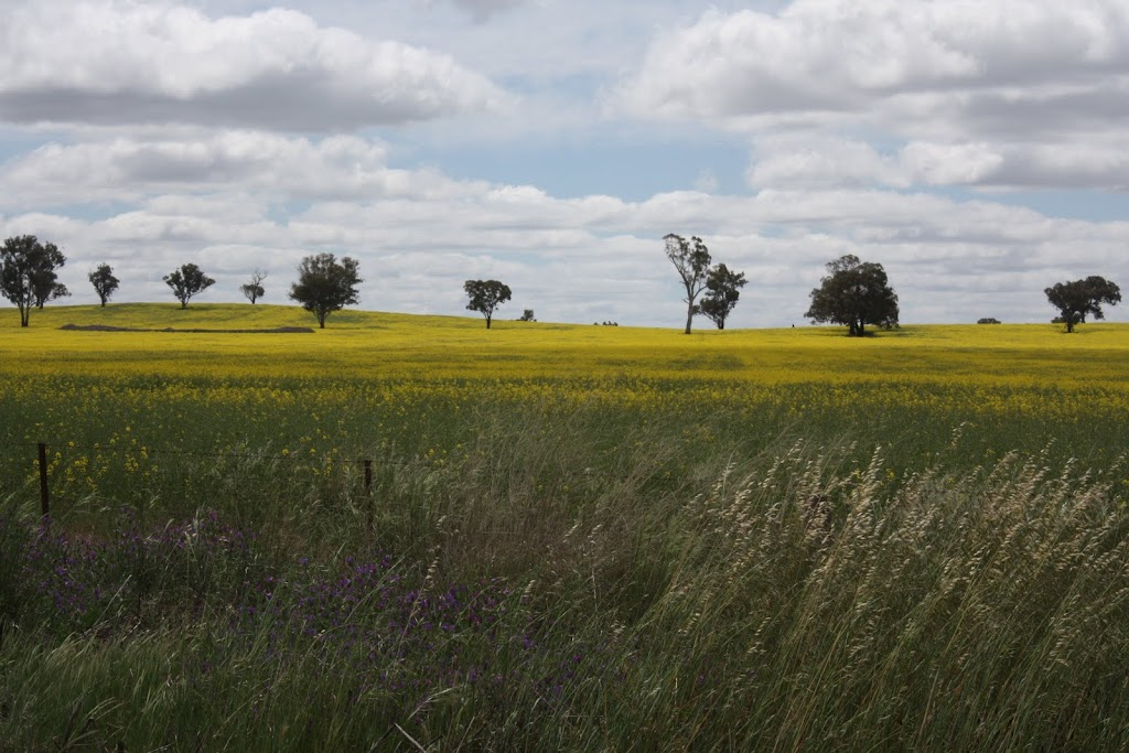 Yellow fields near Junee