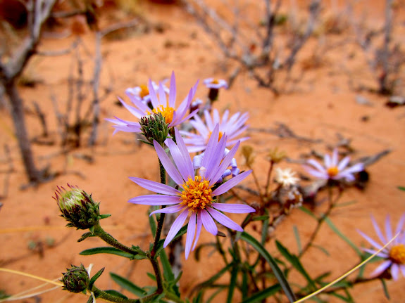 Purple aster flowers, still blooming despite the freezing nighttime temps