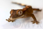 Flame crested gecko baby with some side patterning and portholes.