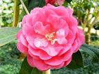 赤色 千重〜牡丹咲き 大輪