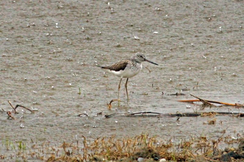 Fluierar cu picioare verzi COmana ploaie pasari birdwatching
