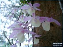 猶如紙鶴飛翔般的天宮石斛蘭(瀑布蘭)Dendrobium aphyllum