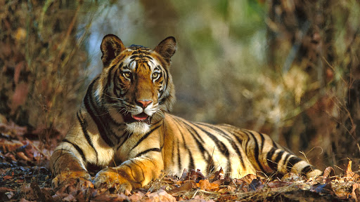 Bengal Tiger Resting, Bandhavgarh National Park, India.jpg