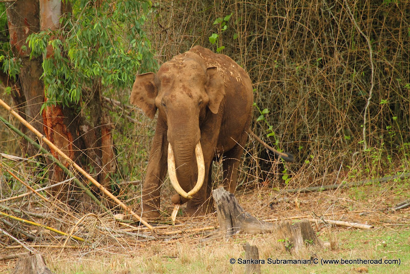 Its breakfast time for this tusker at Nagarhole National Park