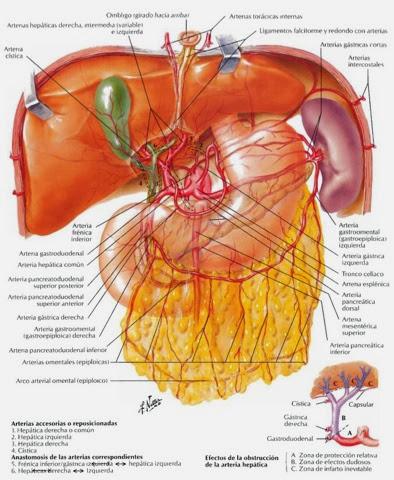 Apuntes de anatomía : Tronco celiaco