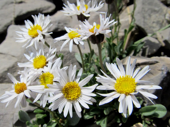 Erigeron coulteri (Coulter's Daisy)