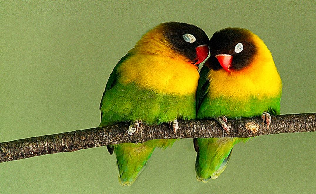 Beautiful Love Birds Free Cell Phone Wallpapers HD