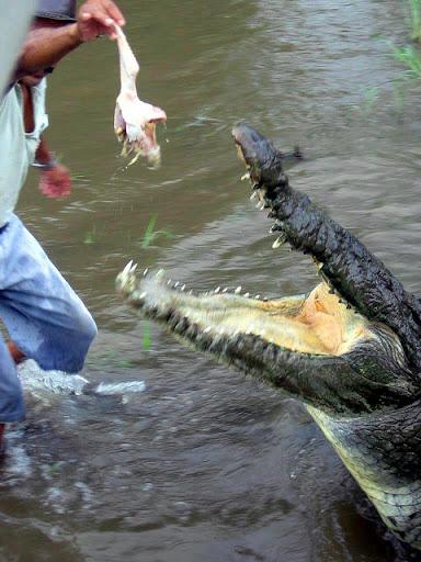 Questões e Fatos sobre Crocodilianos gigantes: Transferência de debate da comunidade Conflitos Selvagens.  - Página 2 125