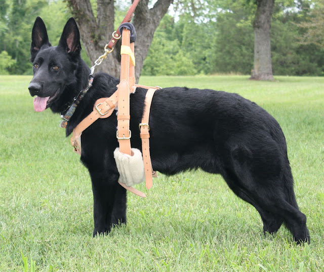 Sid, a black German Shedder, stands with his body pointed left and his face looking at the camera with good humor. He is wearing a tan harness with a Y-front and a wide girth behind his front legs, and a narrow girth four inches back from that one. A rigid handle stands eight and a half inches above his back.